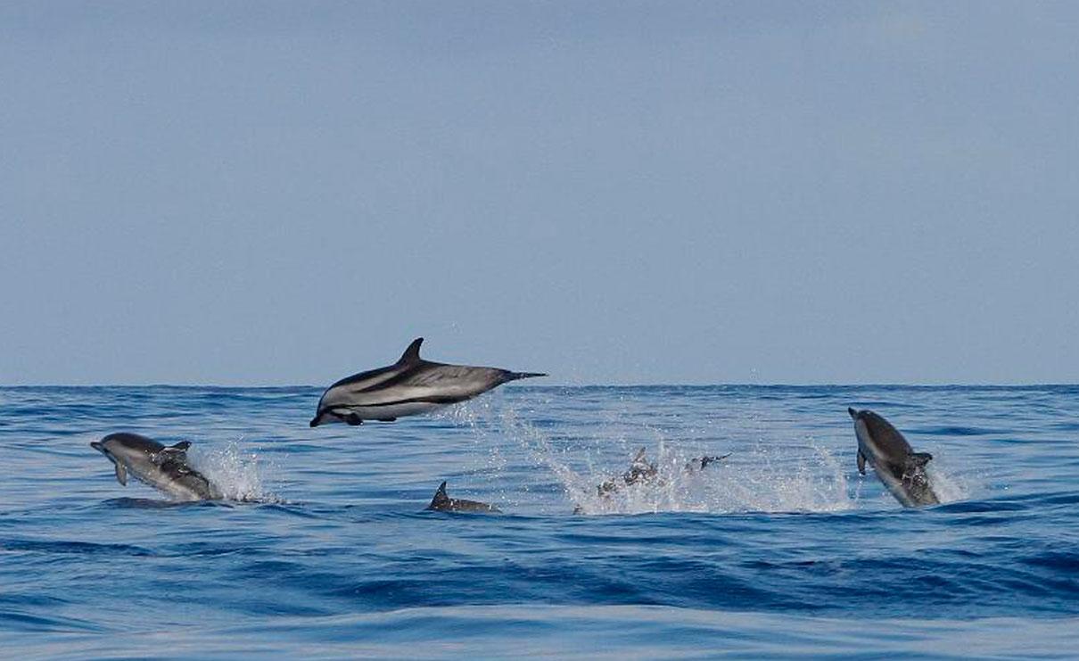 Golfinho-riscado - Stenella coeruleoalba
