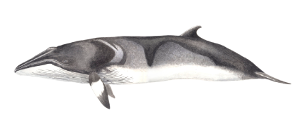 Baleia-anã - Balaenoptera acutorostrata