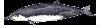 Baleia-de-bico-de-Gervais - Mesoplodon europaeus