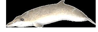 Baleia-de-bico-de-Sowerby - Mesoplodon bidens