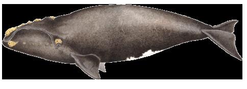 Baleia-franca - Eubalaena glacialis