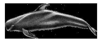 Baleia-piloto de barbatana curta - Globicephala macrorhynchus