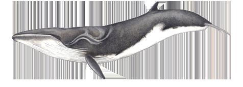 Baleia-sardinheira - Balaenoptera borealis