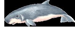 Cachalote-anão - Kogia simus