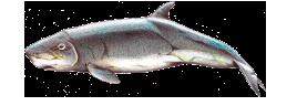Cachalote-pigmeu - Kogia breviceps