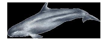 Falsa-orca - Pseudorca crassidens