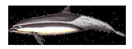 Golfinho-de-Fraser - Lagenodelphis hosei
