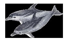 Golfinho-pintado - Stenella frontalis