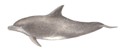 Roaz - Tursiops truncatus